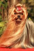 Dog yorkshire terrier — Stockfoto