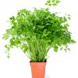Stock Photo: Parsley