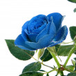 Royalty-Free Stock Photo: Blue Rose