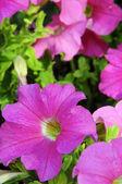Bellflowers — Stock Photo