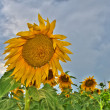 Sunflowers field — Stock Photo #3556685