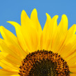 Sunflower — Stock Photo #3556801