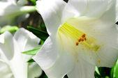 Liliums — Stock Photo