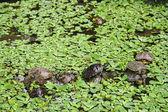 Sköldpaddor — Stockfoto