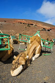 Camels in Lanzarote — Stock Photo