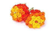 Verbena flowers — Stock Photo