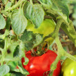Unripe tomatoes — Stock Photo #3798112