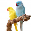 Rose-ringed Parakeets — Stock Photo