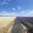 Lavender and wheat — Stock Photo #3528014