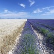 Wheat and Lavender - Stockfoto