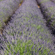 Stock Photo: Lavender lines