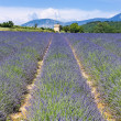 Lavender field 10 - Stockfoto