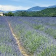 Lavender field 9 - Stockfoto