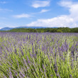 Lavender field 8 - Stockfoto