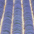 Lavender field 7 - Stockfoto
