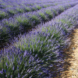 Lavender field 5 - Stockfoto