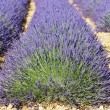 Lavender head - Stock Photo