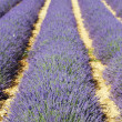 Lavender field 4 - Stockfoto
