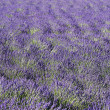 Lavender field 3 - Stockfoto