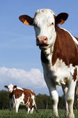 French cow — Foto Stock