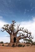 Baobab au Sénégal — Stock Photo