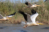 Three Pelicans — Stock Photo