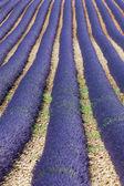 Lavender 3 — Stock Photo
