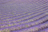 Lavender floor — Stock Photo