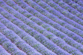 Lavender field 6 — Stock Photo