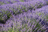 Lavender 6 — Stock Photo