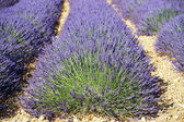 Lavender head — Stock Photo