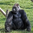 Gorilla — Stock Photo #3550341