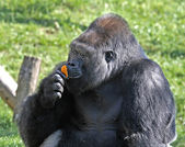 Gorilla and orange — Stock Photo