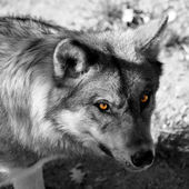 Wolf look — Stock Photo