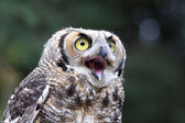 Crying owl — Stock Photo