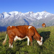 Mountain cow square — Stock Photo