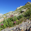 Mountain flowers - Stock Photo