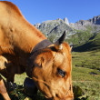 Altitude cow — Stock Photo