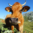 Mountain cow - Stock Photo