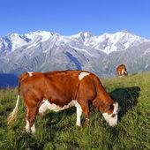 Mountain cow square — Stock Photo