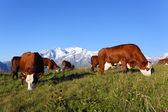 Mountain cow and blue sky — Stock Photo