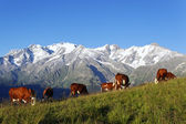 Mountain cows — Stock Photo