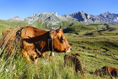 Cow mountain and blue sky — Stock Photo