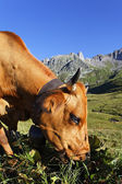 Altitude cow — Stock Photo