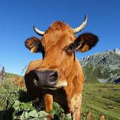 Cow head square — Стоковое фото