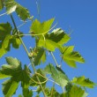 Stock Photo: Grapevine vitis