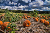 Pumkin field — Stock Photo