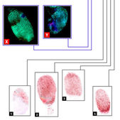 Fingerprints comparison — Stock Photo