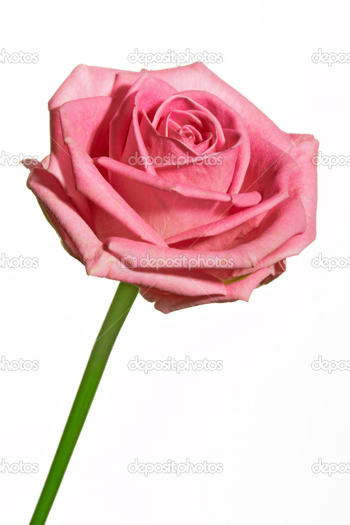 Single pink rose isolated over white — Stock Photo #3627955