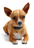 Chihuahua lying down in the studio, isolated on white — Stock Photo